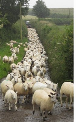 Wet sheep in the lane