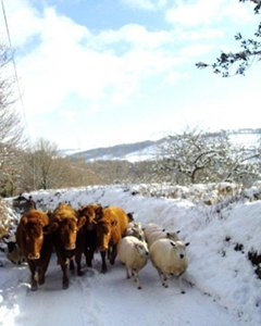 Cattle and sheep in the snow