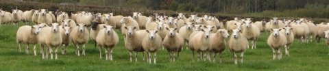 Higher Hacknell ewes